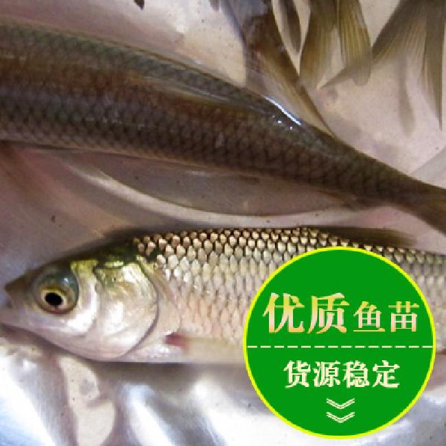 淡水鱼苗多少钱一斤批发价格 量大在优