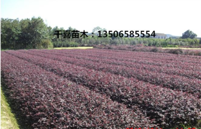 浙江红花檵木大杯苗、基地供应金华萧山红花檵木小苗球