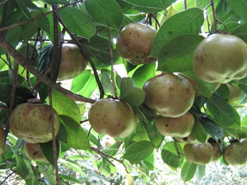 供應廣西那里有山茶籽 油茶種子呢 玉林高產油茶籽苗品種 油茶果