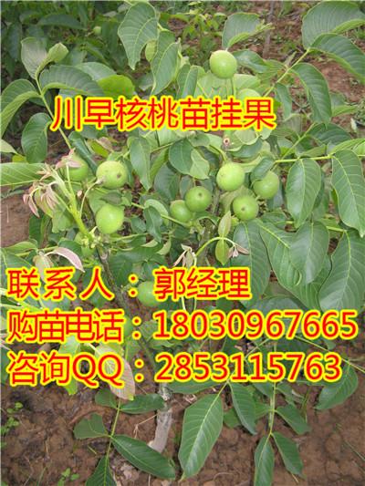 六枝川早核桃苗挂果园,六枝川早核桃苗品种