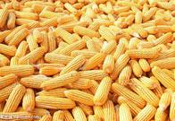 四川饲料企业大量求购玉米淀粉小麦高粱大米