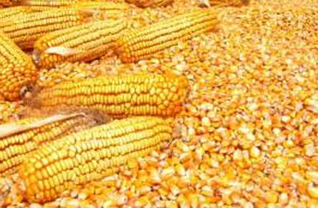 求購玉米粒