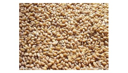 飼料廠常年收購小麥、玉米、大米等原料