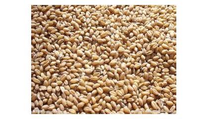 常年收購小麥、玉米
