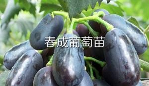 供應葡萄苗