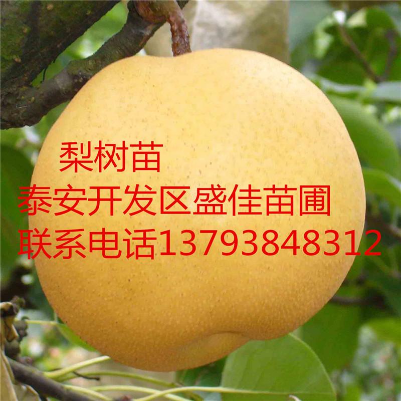 四川 贵州 湖北 河南梨树苗批发价格