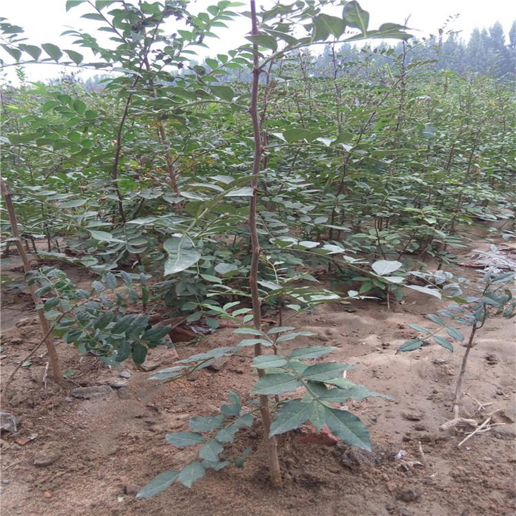 山东供应优质大红袍花椒苗 花椒苗种子出售