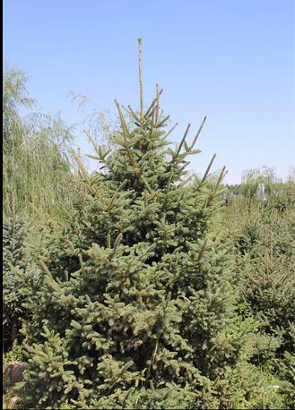 甘肃云杉-常青云杉树苗-春季云杉成活率高-2米3米