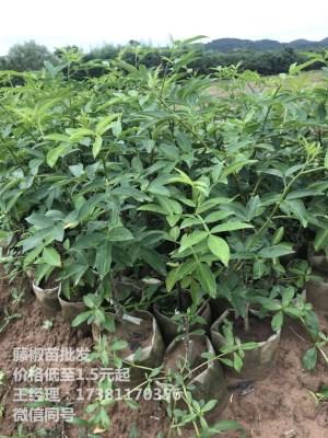 忠县花椒苗 藤椒和青花椒的区别 藤椒是不是青花椒