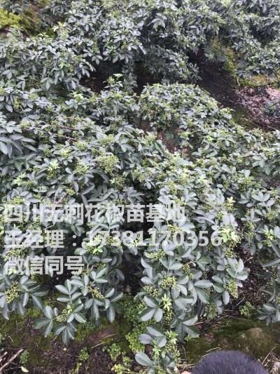 武隆花椒苗 藤椒和青花椒的区别 藤椒是不是青花椒