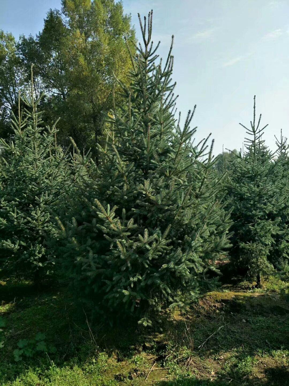 甘肃云杉-甘肃云杉主产地-云杉2米2.5米3米3.5米