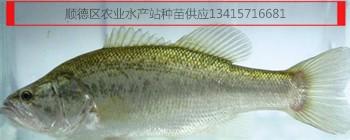 加州鲈鱼苗,加州鲈鱼花水花,大口黑鲈鱼苗