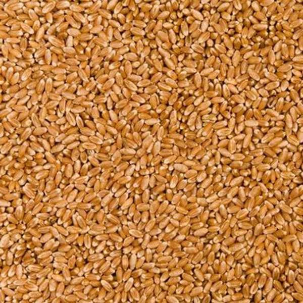 采购大量小麦高粱
