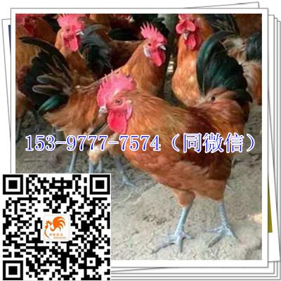 内江土鸡苗公司品种