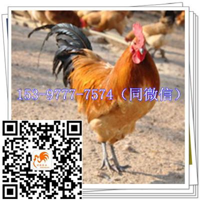 广安青脚麻鸡苗供应公司红羽