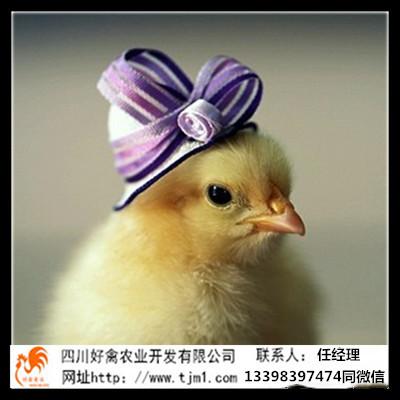 四川德阳土鸡苗销售厂家价格平养