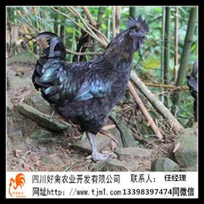 涼山爐霍血毛土雞苗孵化廠經銷批發