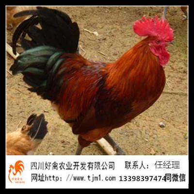 玛曲血毛土鸡苗供应公司提供技术