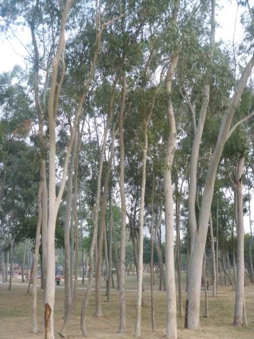 供应广西柠檬桉苗示范场 玉林柠檬桉种子批发