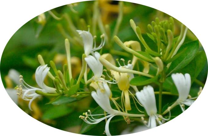 金銀花提取物-金銀花浸膏-金銀花浸膏粉