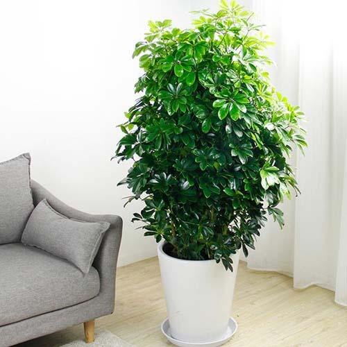 适合放在办公室的大型绿植  办公室大型绿植