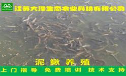 泥鰍養殖怎么樣?泥鰍會生病嗎?怎么治療【江蘇大澤科技】