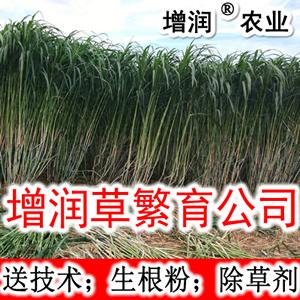 增潤草種節包郵 高產牧草增潤草種子種苗