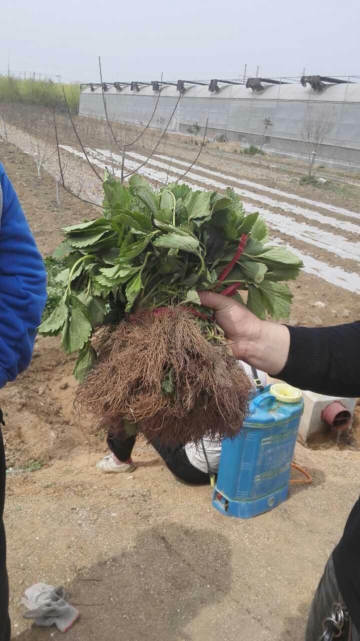 山東草莓苗基地 紅顏草莓苗出售 章姬草莓苗批發