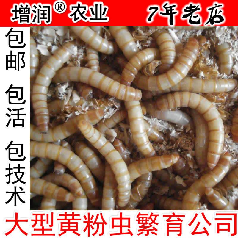 增潤黃粉蟲種蟲 養殖黃粉蟲活體種苗包郵 面包蟲卵寵物飼料