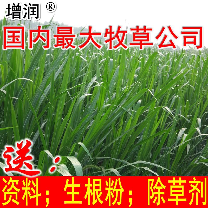 增潤新型皇竹草種節 皇竹草種子種苗 多年生養殖牧草黃竹草