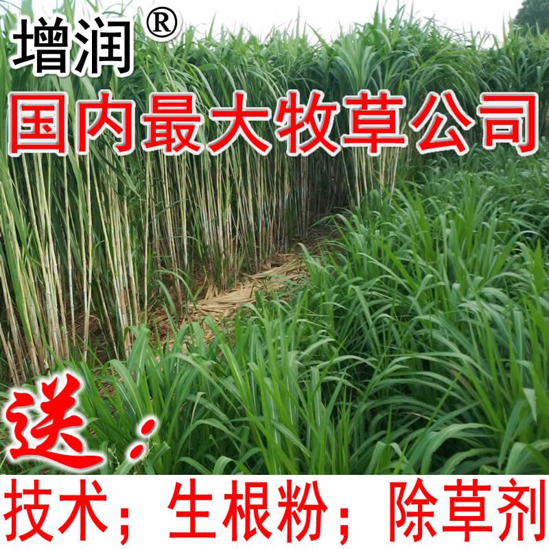 臺灣甜象草種節批發 甜象草養殖多年生牧草種子包郵