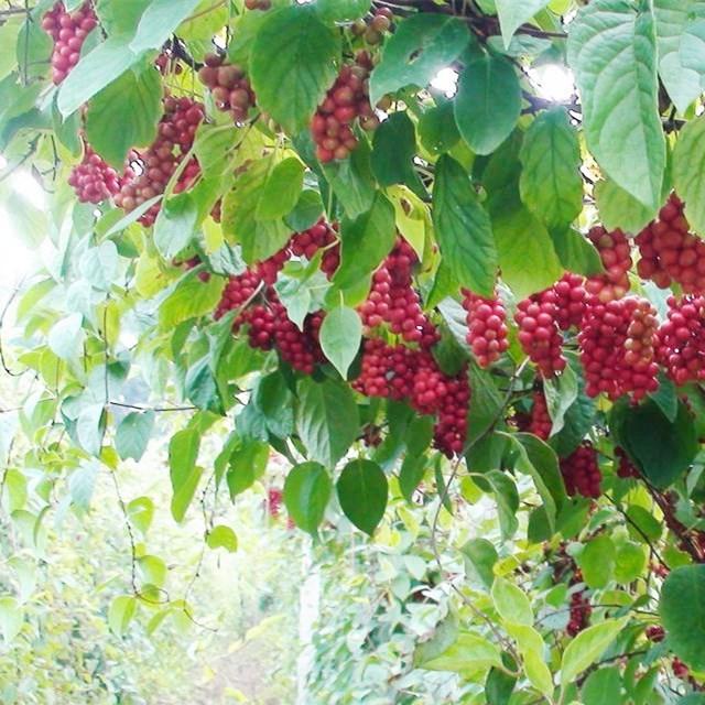 重大新聞:凌源市刀爾登鎮老農不顧家人反對把30畝玉米田地全部種上了中藥五味子