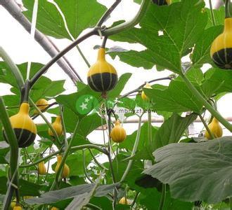 觀賞小淘氣南瓜種子 觀賞優質套餐鴛鴦梨南瓜種苗