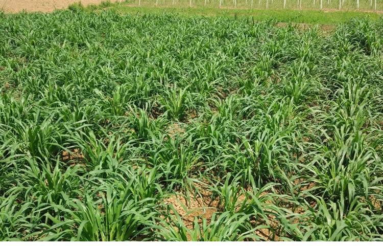 巨菌草種節增潤四季多年生南方高產牧草種子