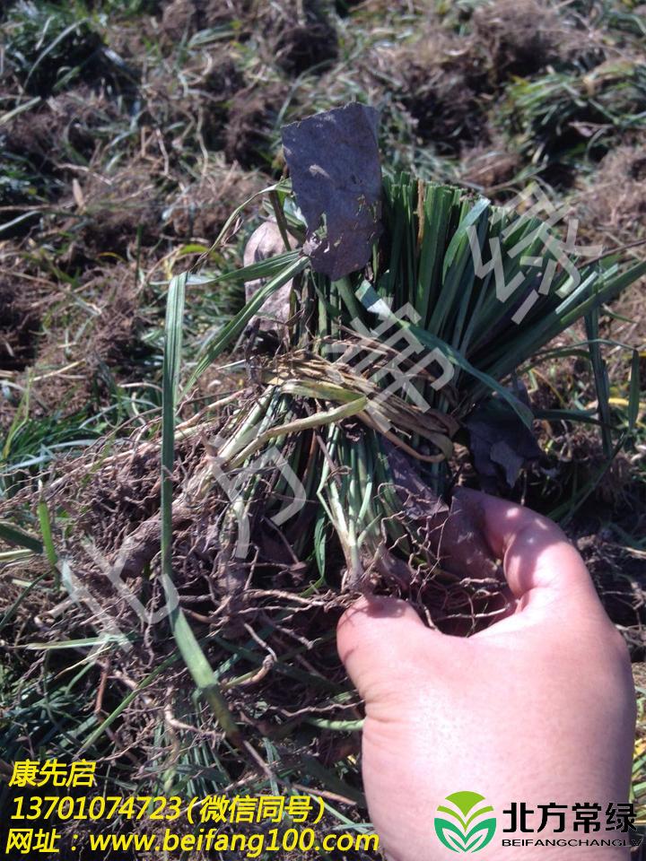 麥冬草批發推薦北方常綠草坪