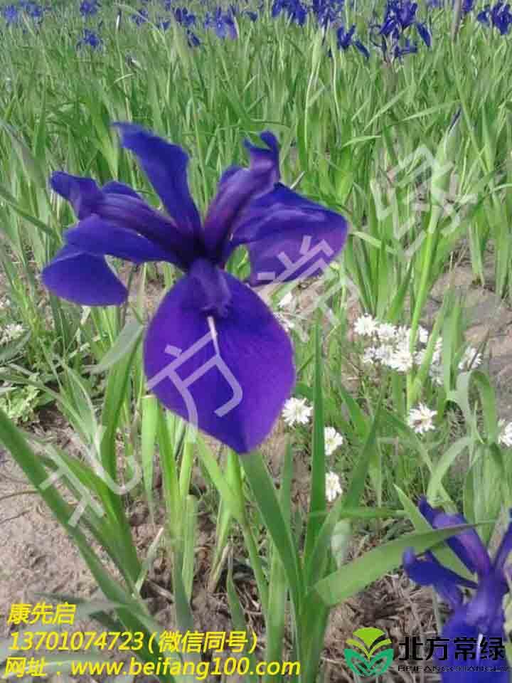 藍花鳶尾供應批發推薦北方常綠草坪
