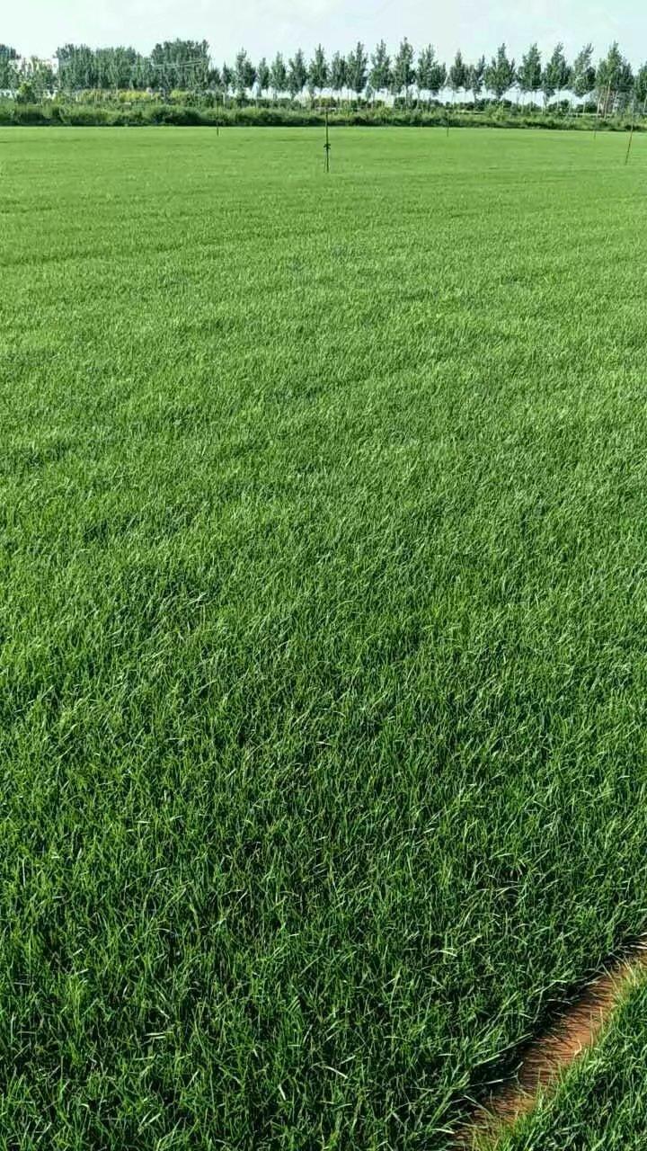 直銷批發榆葉梅紫葉稠李柏樹草坪