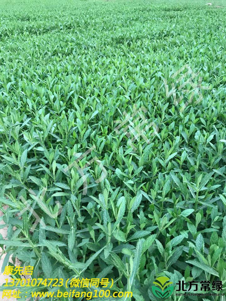 柳葉馬鞭草基地營養缽苗直供,就近發貨!