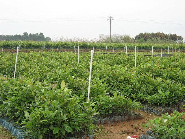 供應火力楠苗和玉林金絲楠木苗簡介 山杜英苗價格
