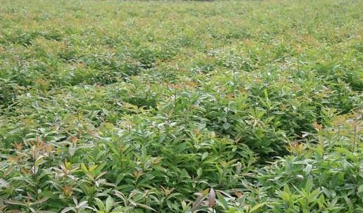 供應紅椎苗和楓香苗基地 玉林荷木苗與紅黎木苗1號