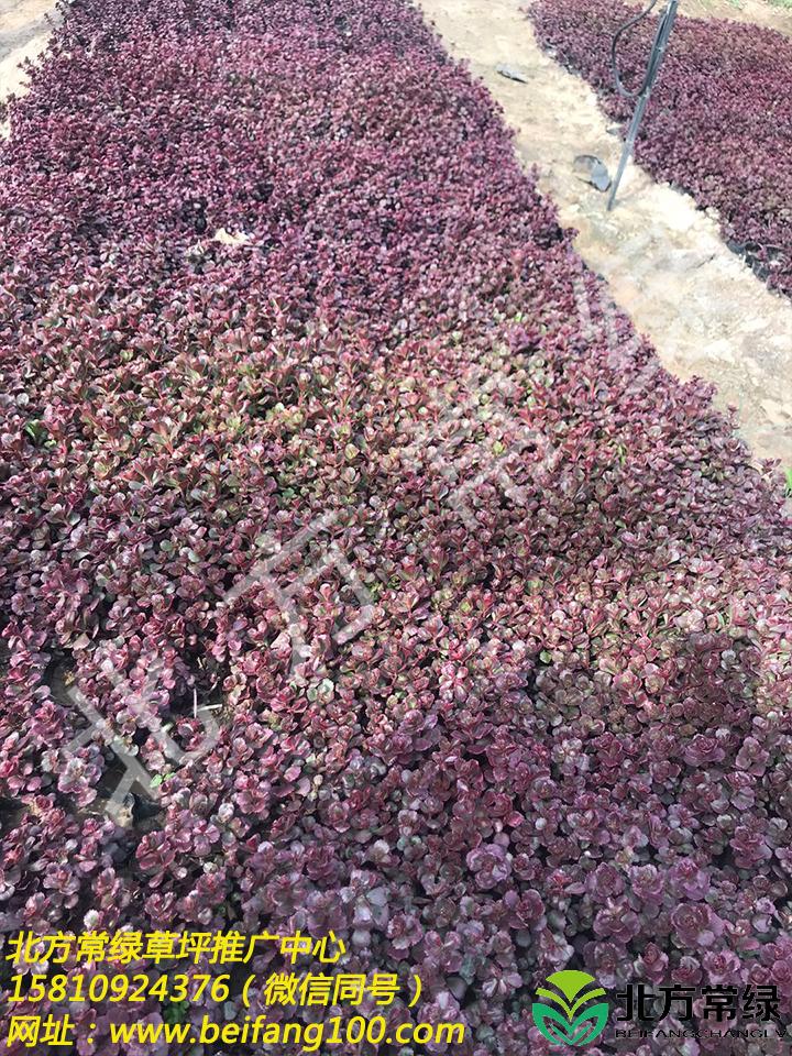 北京胭脂紅景天價格是多少