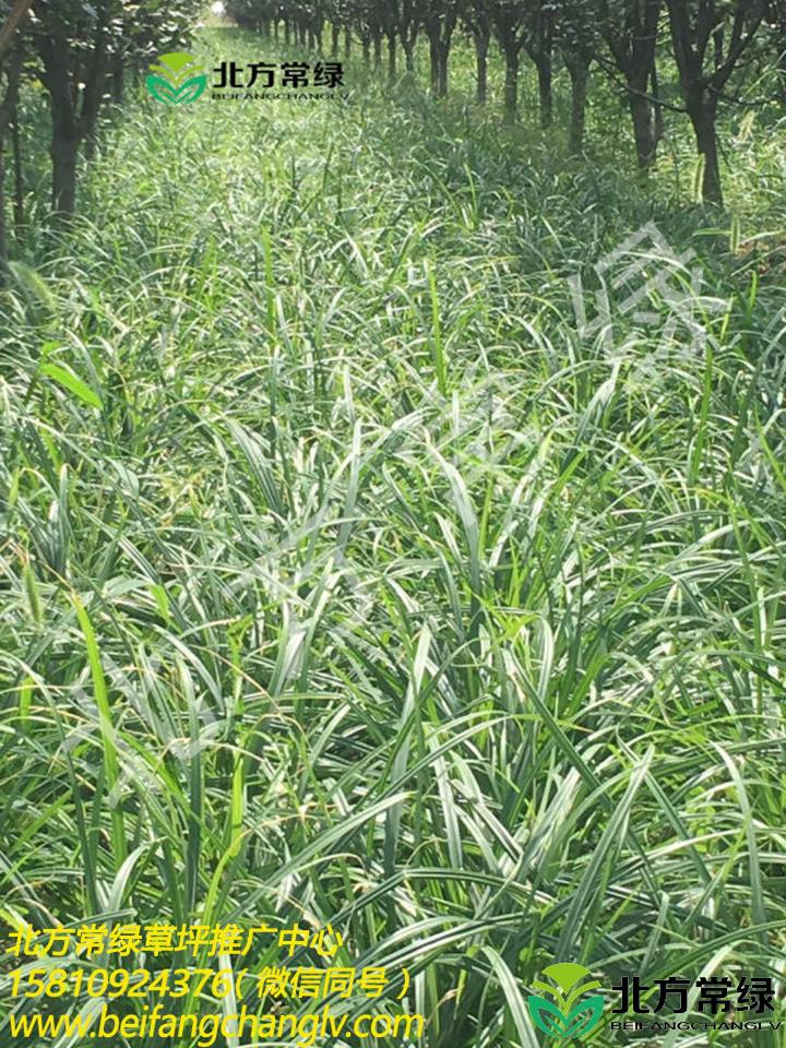 嶗峪苔草地栽苗土地征收到期,大量處理