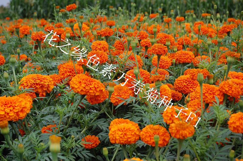 基地供应花卉种子 万寿菊种子 赤峰色素万寿菊种子厂家量大优惠
