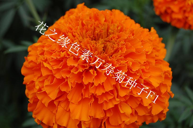 赤峰花之缘花卉 色素万寿菊种子F1 杂交一代高产菊花种子价格